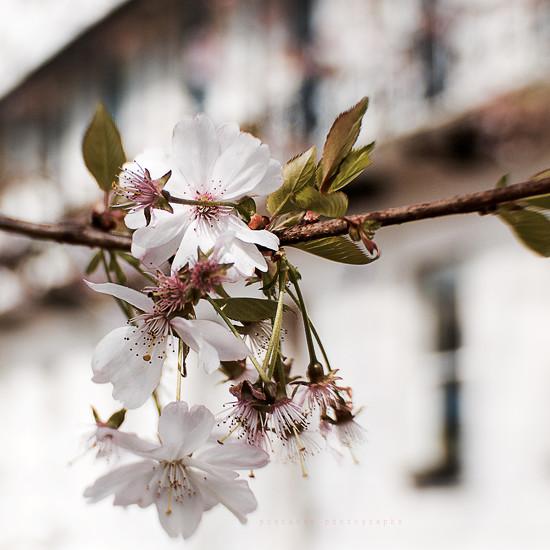 regency row blossom  by pistache