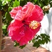 Another beautiful Hibiscus