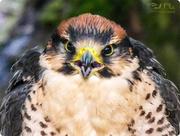 29th Mar 2017 - Peregrine Falcon