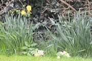 28th Mar 2017 - Daffs and Primulas from Study Window