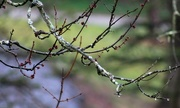 29th Mar 2017 - Tree branches with raindrops