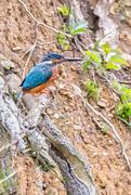 29th Mar 2017 - 2017-03-29 - Rosie's Kingfisher