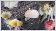 31st Mar 2017 - Smooth, fuzzy, rough, glossy, powdery, patchy - fungi have it all.