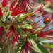 Ladybug and Bees on Bottlebrush by gaylewood