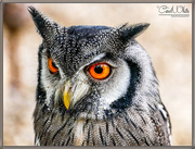 30th Mar 2017 - White-Faced Scops Owl