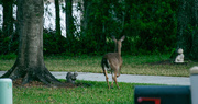 30th Mar 2017 - Deer on the Run!
