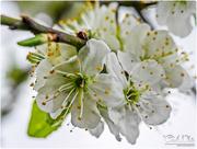 1st Apr 2017 - Plum Blossom
