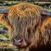 Scottish Highlander in NW Montana3 by 365karly1