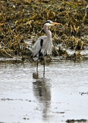 1st Apr 2017 - Neither rain, wind, sleet or snow can keep this heron from his appointed rounds.