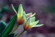 1st Apr 2017 - happy april tulips