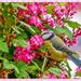 Blue-tit And Ribes by carolmw