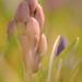 hyacinth by jackies365