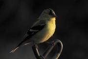 2nd Apr 2017 - goldfinch at sunrise