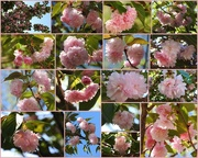 2nd Apr 2017 - PINK cherry trees in bloom