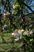 2nd Apr 2017 - #90 - Apple Blossoms