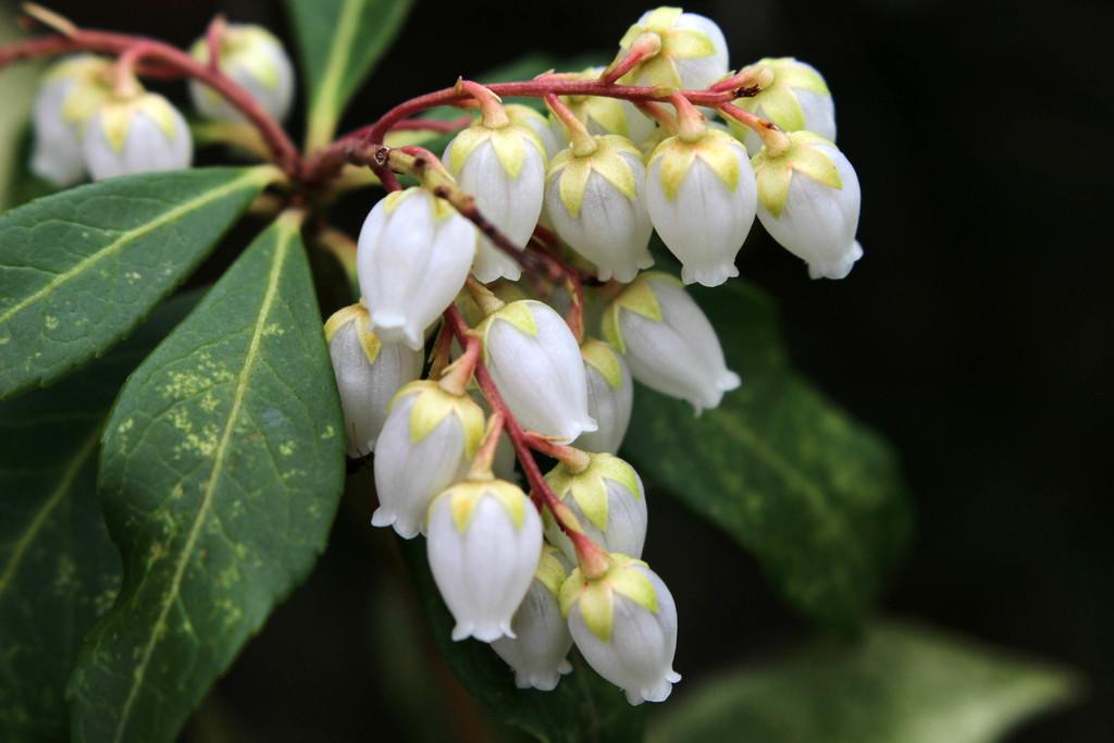 Little pieris blooms by mittens