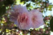 3rd Apr 2017 - PINK cherry blossom bokeh