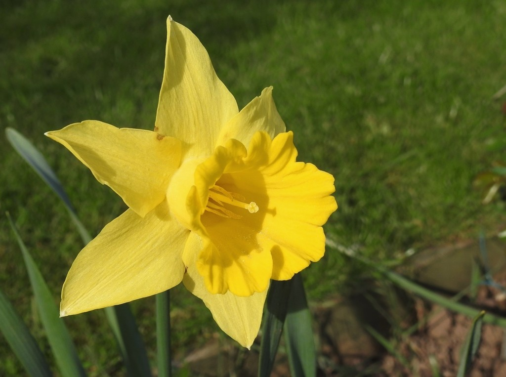 Just a daffodil for today. by roachling