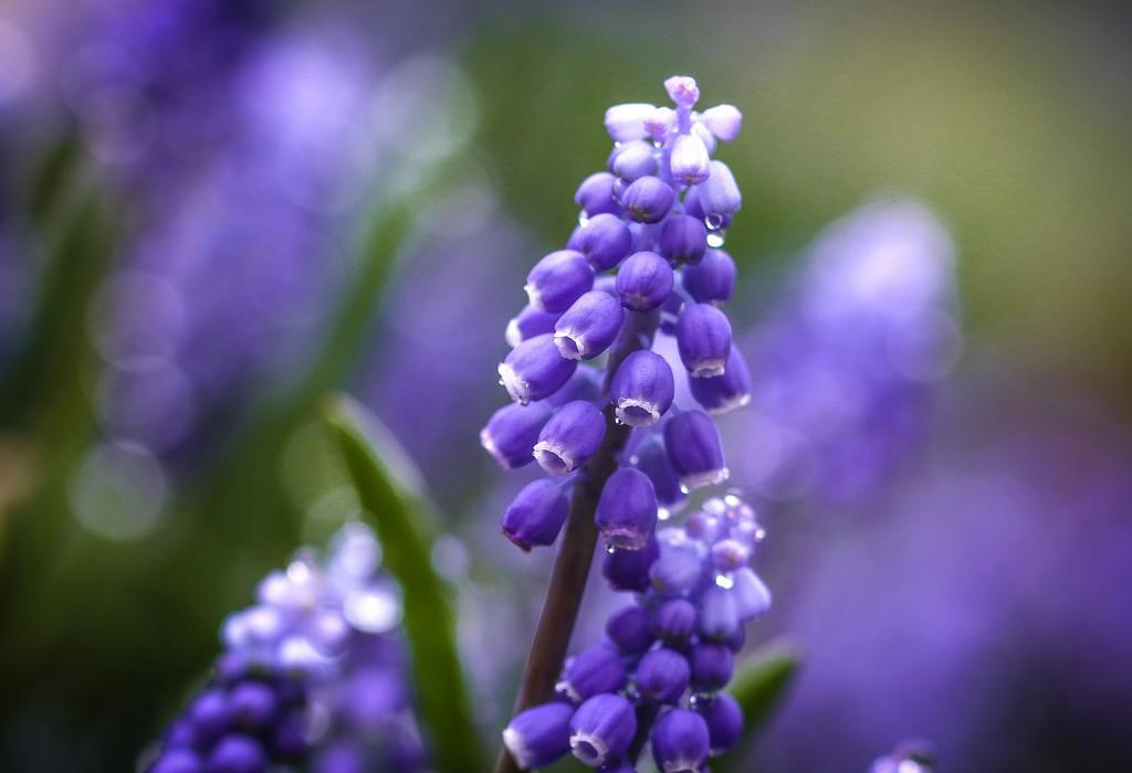 grape hyacinth by lynnz