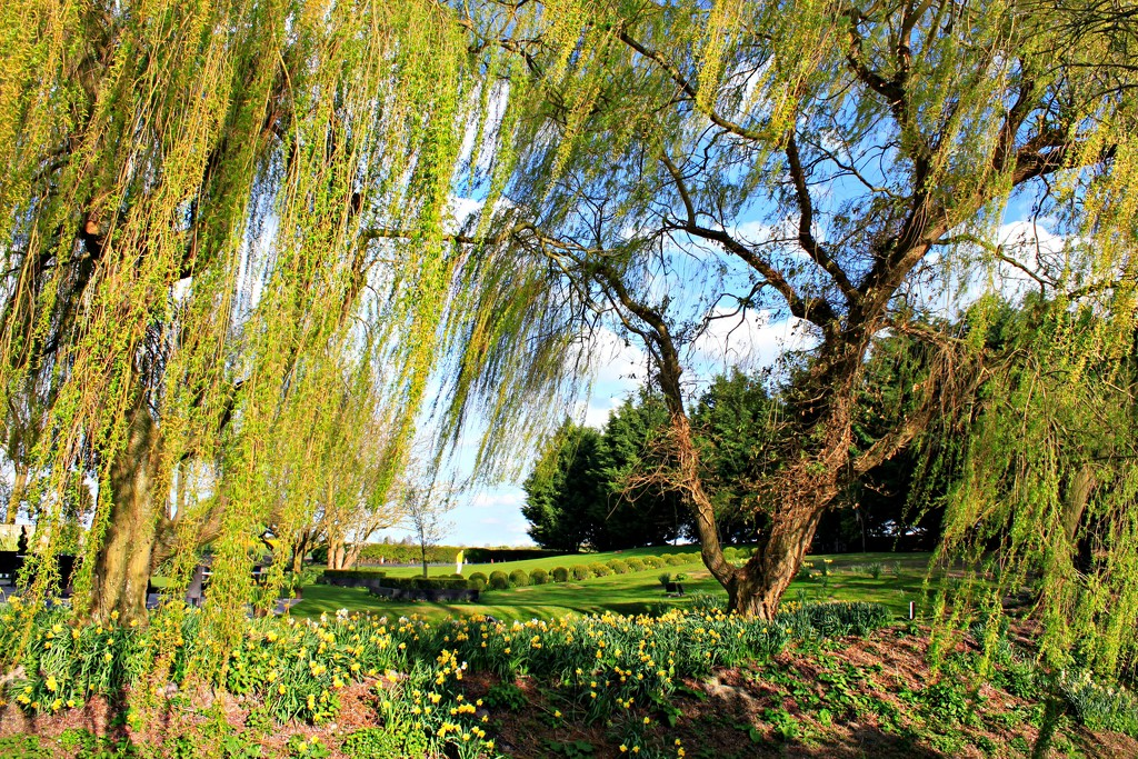 Weeping Willow by kimcrisp