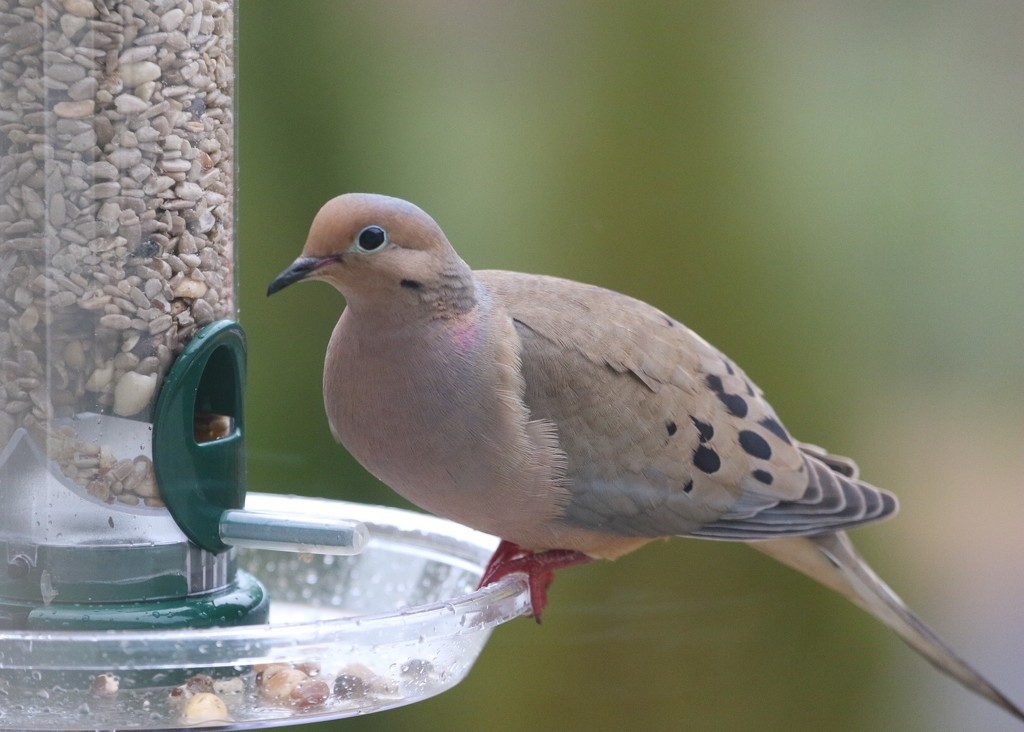 Multi-colored Mourning Dove by jnorthington