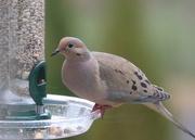 5th Apr 2017 - Multi-colored Mourning Dove