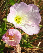 6th Apr 2017 - PINK flowers in the sun