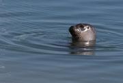 7th Apr 2017 - Harbor Seal