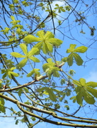 2nd Apr 2017 - New leaves on the chestnut tree