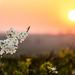 Blossom  by rjb71