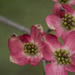 #95 - Pink Dogwoods by randystreat