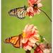 Butterfly Frenzy... by julzmaioro