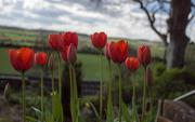 5th Apr 2017 - Morning Tulips.....