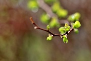 4th Apr 2017 - new leaves