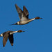 pintail drakes by mjalkotzy