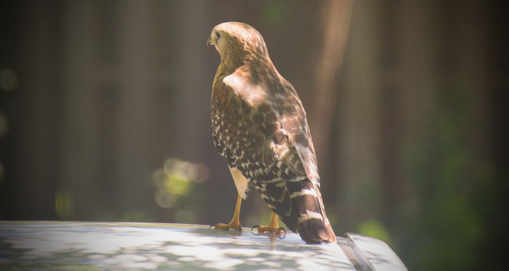 Red Shouldered Hawk on Top of My Car! by rickster549