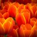 Tulips, RHS Cardiff by dorsethelen