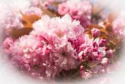 9th Apr 2017 - Cherry Blossom..........