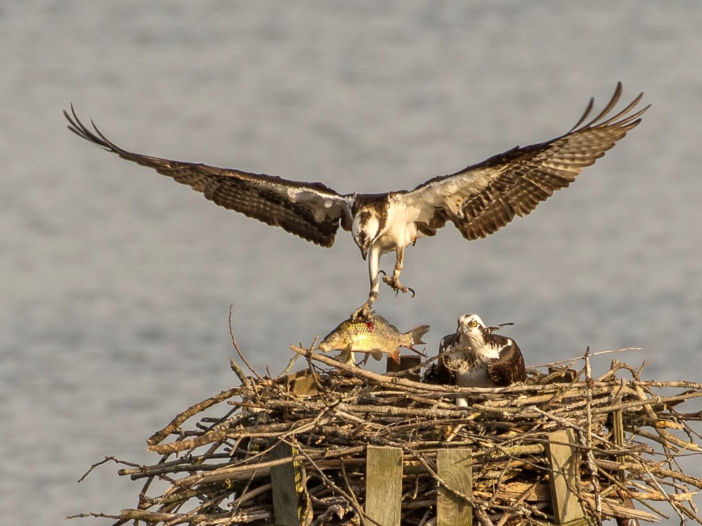 Two Ospreys and a fish  by dridsdale