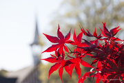9th Apr 2017 - Japanese Maple bursting with color