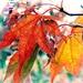 Autumn Leaves by yorkshirekiwi
