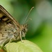 SPECKLED WOOD by markp