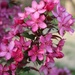 Our new crabapple tree by essiesue