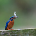 Male Kingfisher-fishing to share!! by padlock