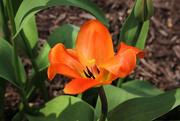 10th Apr 2017 - Orange tulip