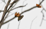 9th Apr 2017 - Two Monarchs Chased by a Goatweed Leafwing