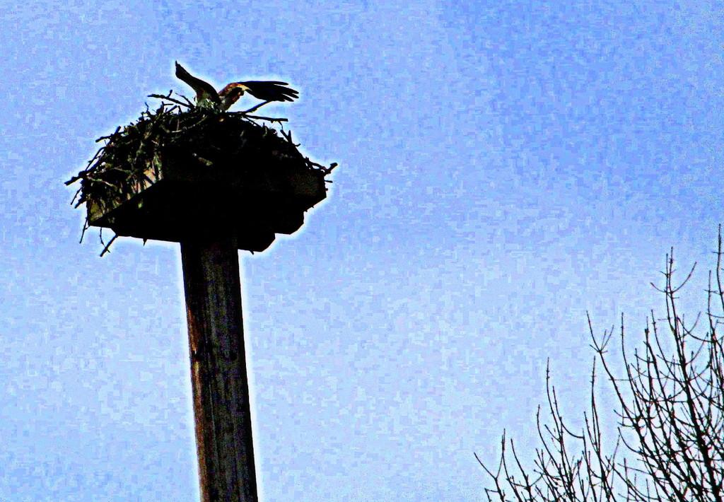 Snapshot of an Osprey by granagringa