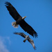 Osprey Attacking the Bald Eagle! by rickster549