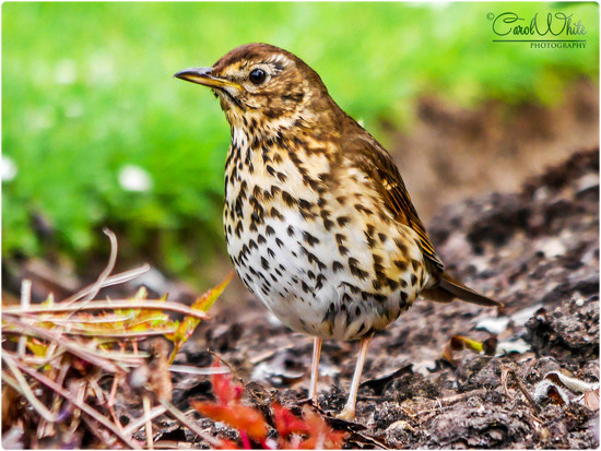 Song Thrush by carolmw