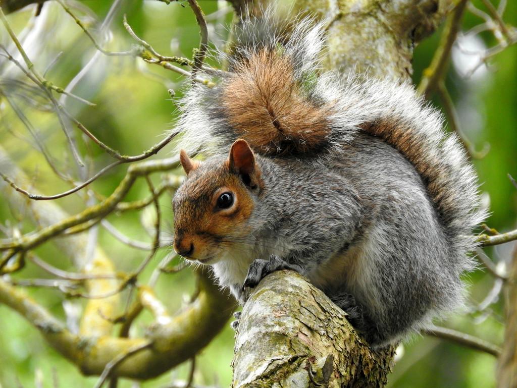 Fluffy, Happy Squirrel by seattlite